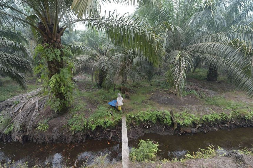 An Indonesian woman working at a palm oil plantation in Pelalawan, Riau province, on Sept 16, 2015.