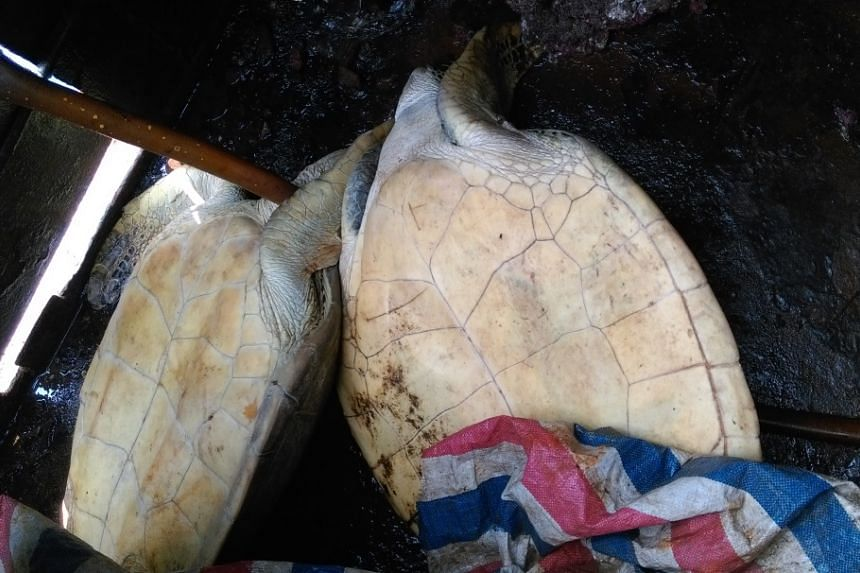 Endangered green sea turtles found on board a Chinese boat, caught on March 23, 2016, for illegally harvesting coral and endangered turtles.