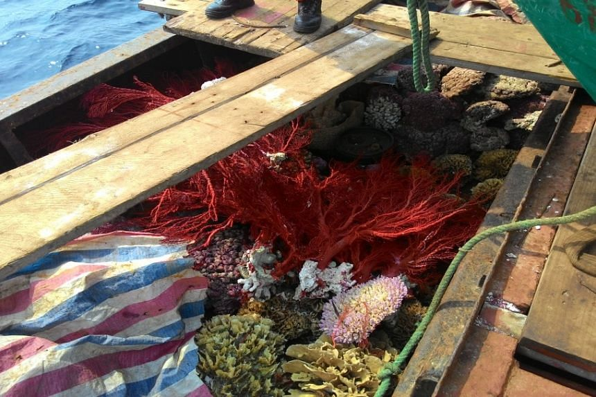 Corals were found on board a Chinese boat, caught on March 23, 2016, for illegally harvesting coral and endangered turtles.