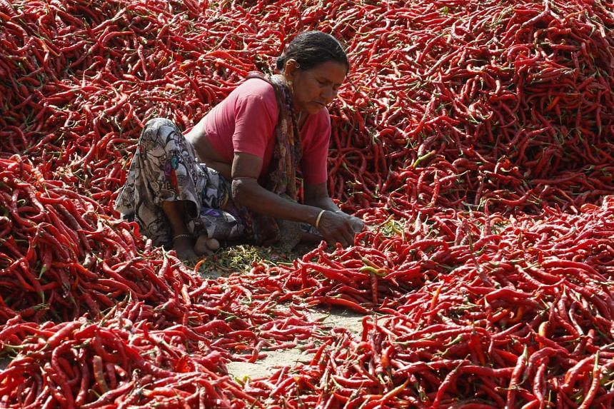 A woman removes stalks from chilli peppers at a farm on the outskirts of Ahmedabad, India on Feb 9, 2016.
