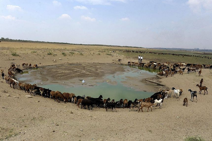 Livestock around the almost dried-up Osman Sagar Lake, commonly known as Gandipet, on the outskirts of Hyderabad, Telangana, which is in the grip of a severe drought.