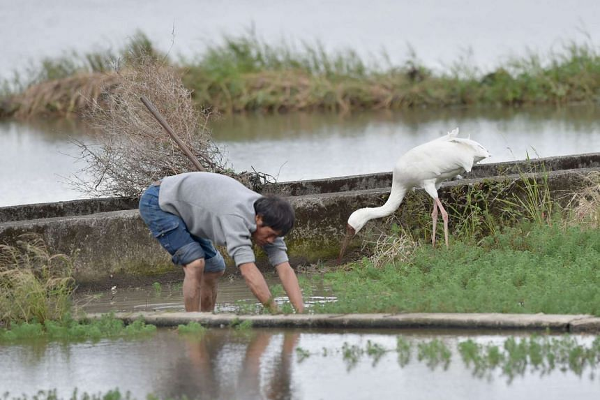 A Siberian crane searching for food next to a farmer at a rice field of Jinshan district in New Taipei City on Dec 5, 2015.