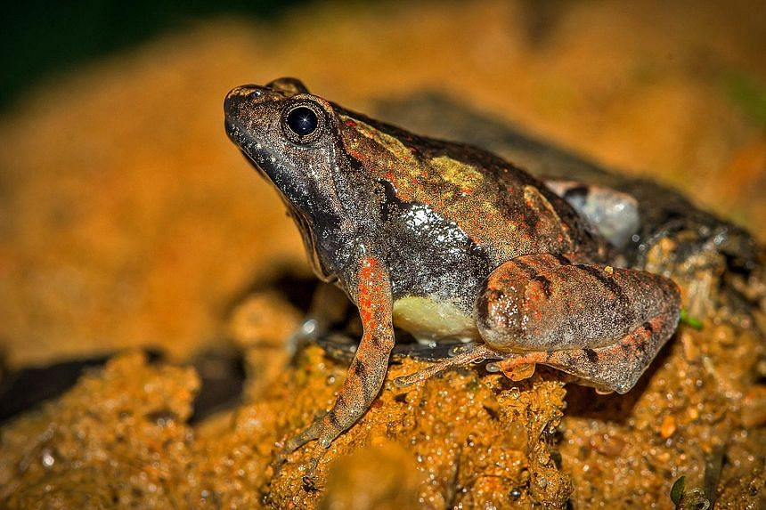 An adult male of a newly discovered frog species - Microhyla laterite - spotted among laterite rock formations of India's coastal plains. The frog, which measures around 1.6cm, is pale brown with prominent black markings on its hands, feet and flanks