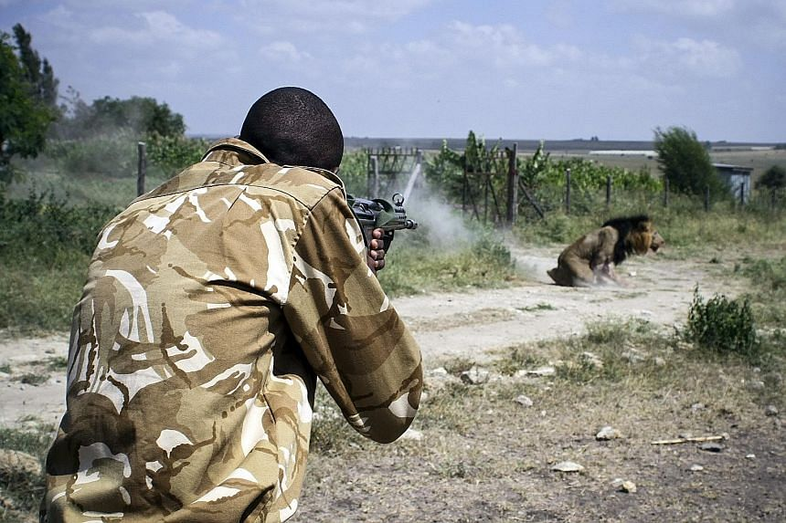 A ranger from the Kenya Wildlife Service shooting dead the lion after it attacked and injured a man in Kajiado district on Wednesday.