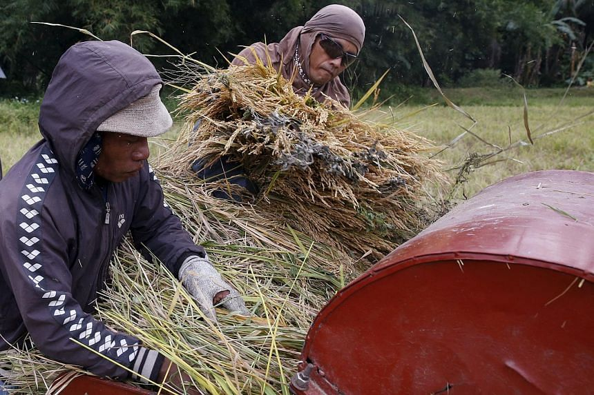 """Farmers place rice stalks on a makeshift thresher to separate """"Palay"""" grains at a rice field in Marinduque, Philippines on March 27, 2016."""