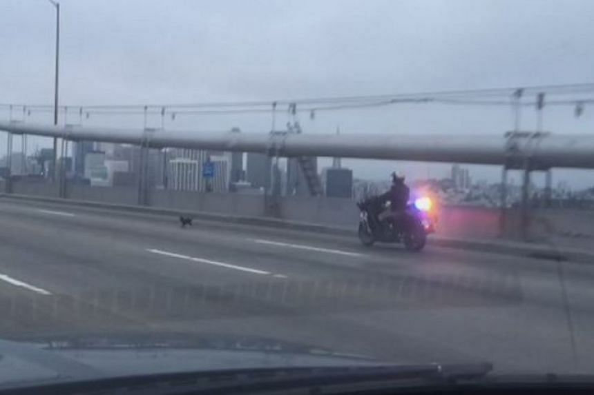 The black chihuahua was pursued by a motorcycle officer along a stretch of the San Francisco-Oakland Bay Bridge.