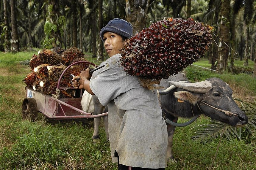 A worker transporting palm fruit at an IOI Group palm oil mill in Johor, Malaysia. The certification of the Malaysian company, which has a history of complaints from NGOs, has been suspended by the Roundtable on Sustainable Palm Oil for non-complianc