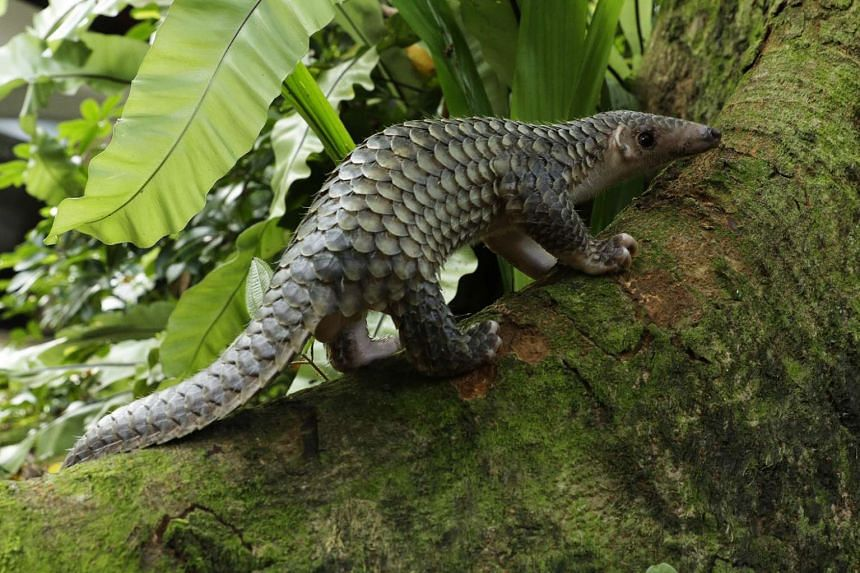 The four-month-old pangolin has grown from 776g to 1.1kg.