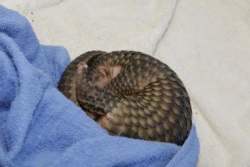 It will join seven other pangolins on exhibit once it becomes independent and starts on its captive diet.