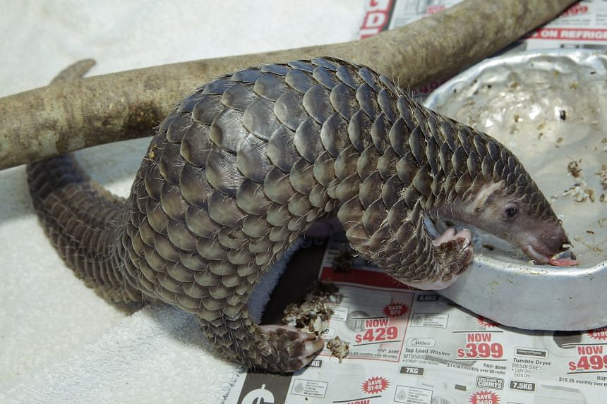 The baby pangolin now relishes ants' eggs.