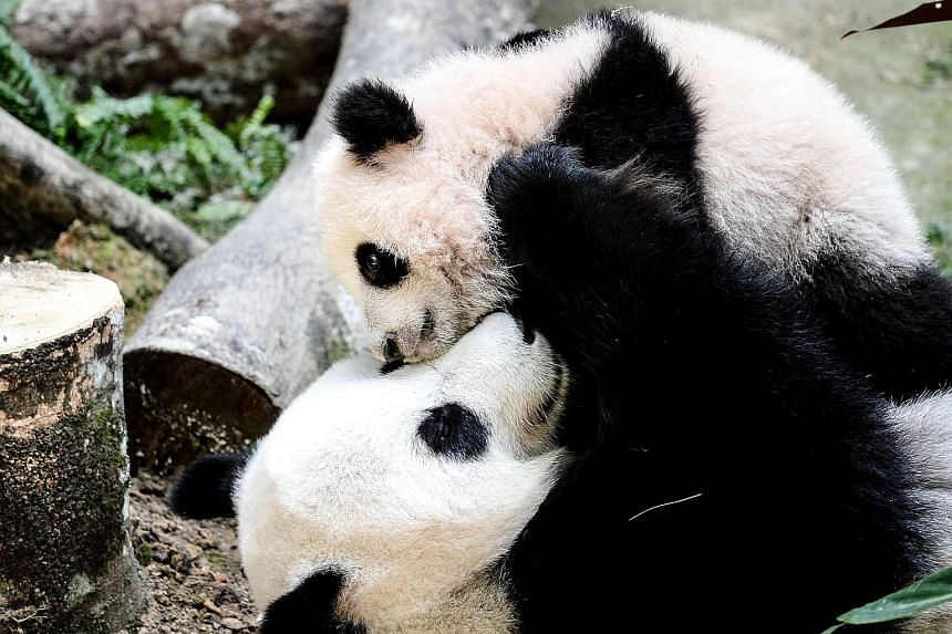 Nuan Nuan plays with her mother Liang Liang inside the panda enclosure at the National Zoo in Kuala Lumpur on Feb 25, 2016.