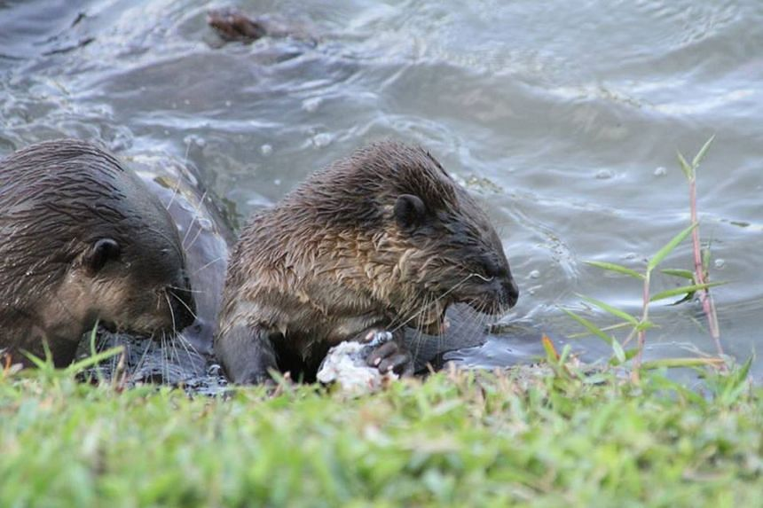 An otter pup (right) was spotted with a fishing hook near its eye in the Kallang River area last Saturday. The otter is the latest victim of irresponsible, and sometimes illegal, fishing activity that has left legitimate anglers fuming.