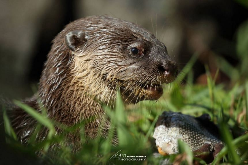 The otter pup's eye appearing reddish and slightly swollen from the fish hook previously embedded near it.