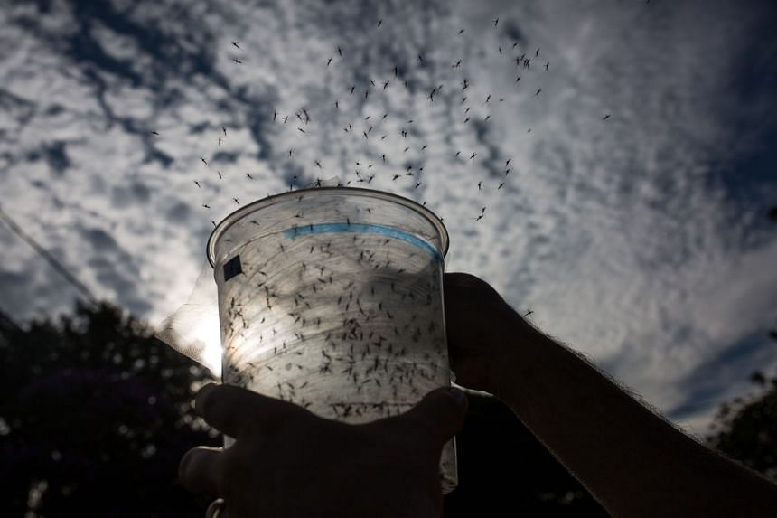 Genetically modified Aedes aegypti mosquitoes being released in Piracicaba, Brazil, in February to combat the Zika virus.