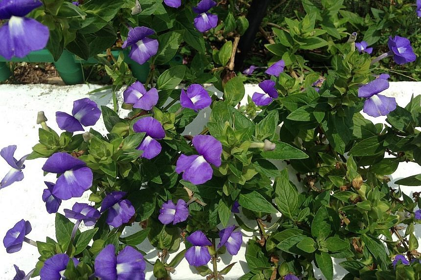 I have this beautiful plant with purple flowers (above). The leaves look like those of a basil plant, but they emit a strong medicinal fragrance like the eucalyptus'.