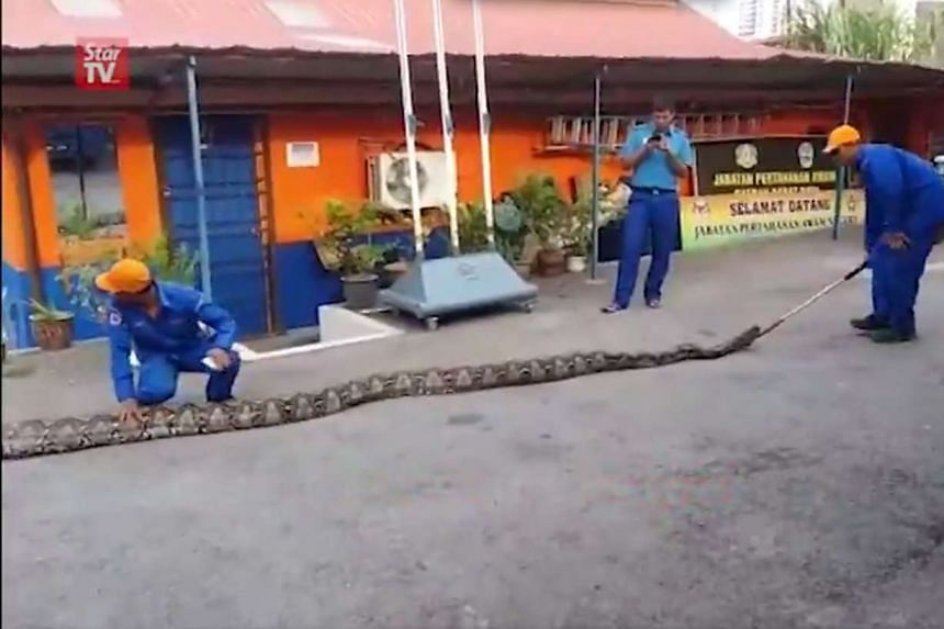 The python was discovered lying under a tree by construction workers near their work site in Paya Terubong.