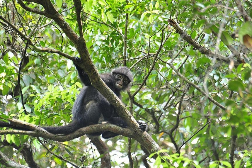 NParks also plans to study the banded leaf monkey's behaviour and population so as to boost their numbers.