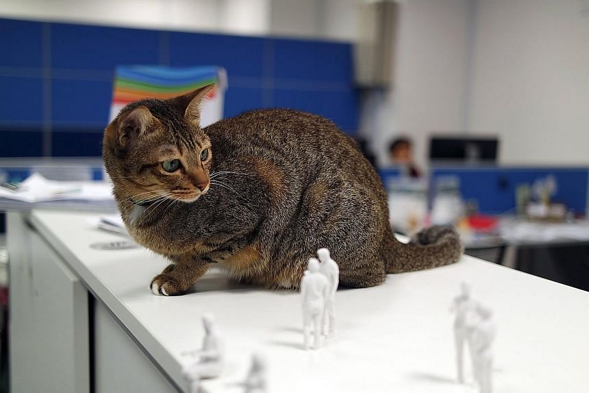 Dora the cat is a permanent fixture at the 3D Matters office in Science Park. She stays in the office overnight, and has an automatic feeder, scratching post and litter box.