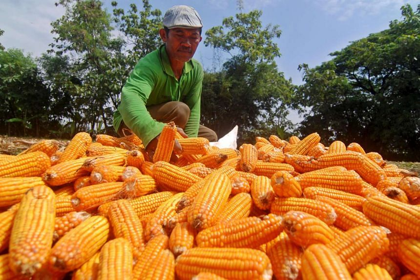 A farmer dries corn cobs during the harvest season in Demak, Indonesia's Central Java province.