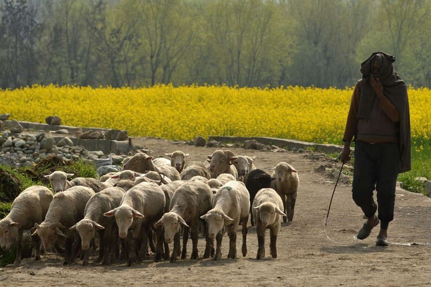 A Kashmiri shepherd leads his flock of sheep near a mustard field in full bloom on the outskirts of Srinagar on March 28, 2016.
