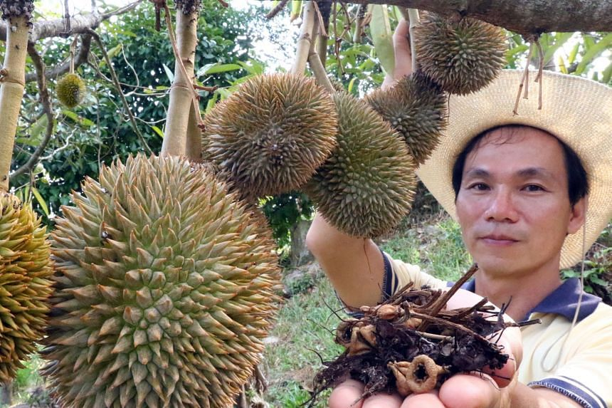 Penang durian farm owner Eric Chong showing the dried flowers from his trees. He expects the supply in his orchard to drop by up to 30 per cent because of the heatwave.