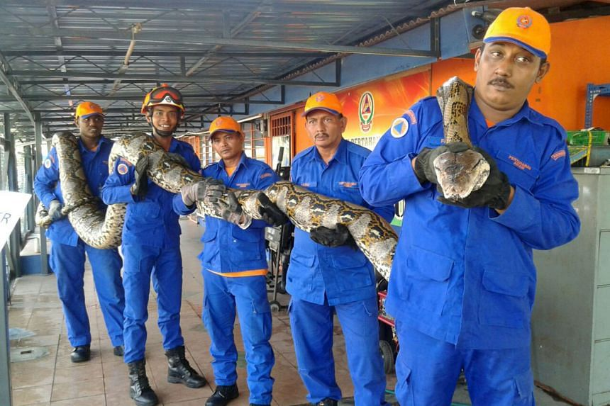 Members of Malaysia's Civil Defence Force with the 7.5m-long reticulated python, which was caught near a construction site in Penang last week.