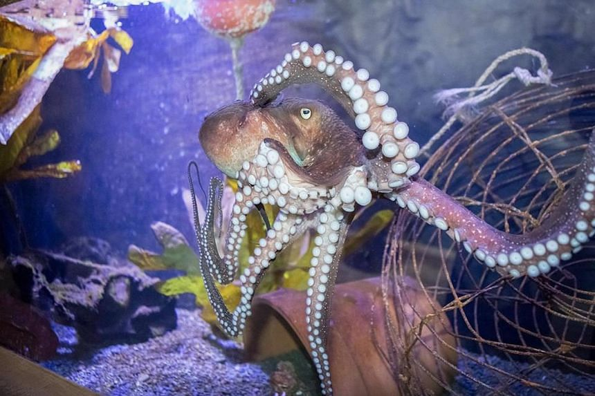 """""""Inky"""" the male octopus, given to the Napier aquarium two years ago, escaped by squeezing through a 150mm-diameter pipe."""