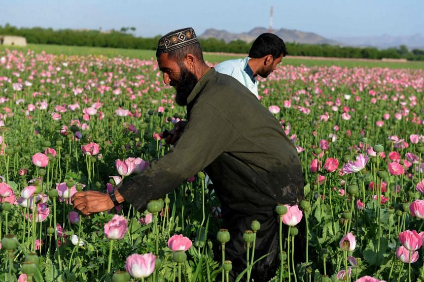 Afghan farmers harvest opium sap from a poppy field in Zari District of Kandahar province on April 12, 2016.