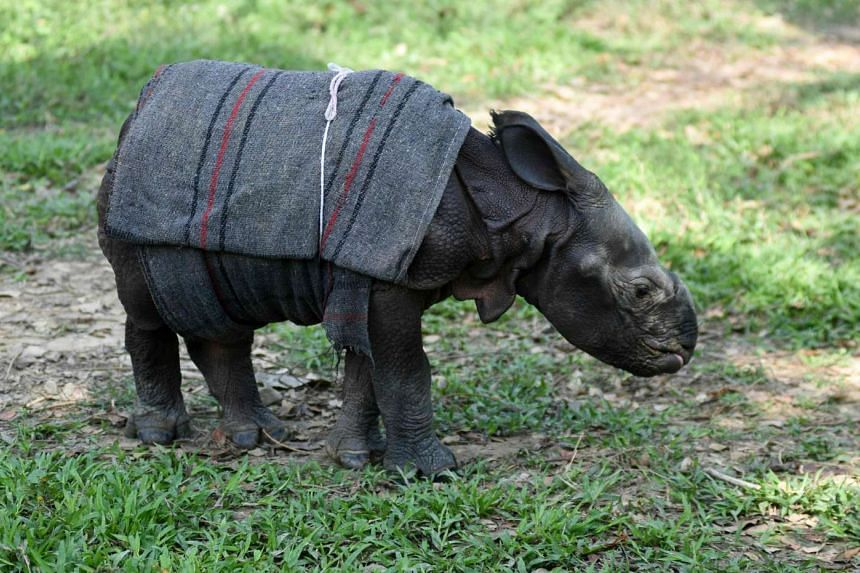 A 12 day-old male rhino calf at The Centre for Wildlife Rehabilitation and Conservation facility at Kaziranga National Park, on March 24, 2016.