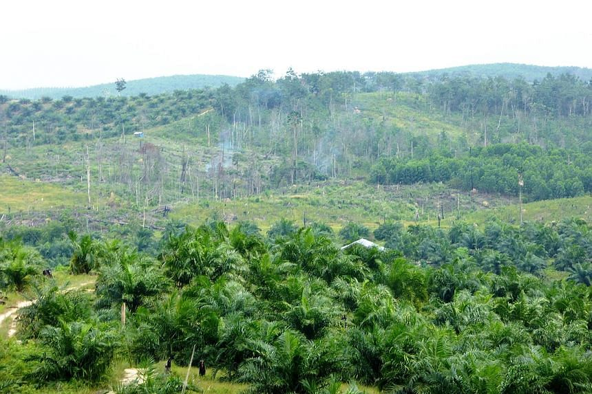 An illegal oil palm plantation in Tesso Nilo National Park in central Sumatra. The companies implicated by the investigation include Singapore-listed Wilmar International and Golden Agri-Resources.