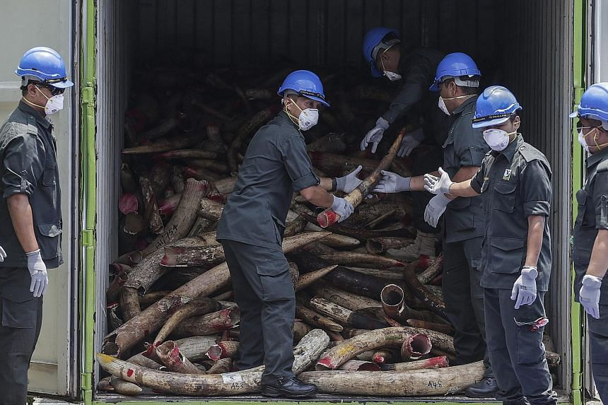 Malaysian wildlife officials in Port Dickson in Negeri Sembilan state preparing to destroy confiscated elephant tusks from Africa yesterday. The officials destroyed 10 tonnes of seized tusks as part of the country's efforts to combat the illegal ivor