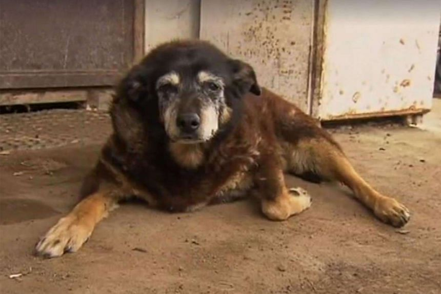 Australian kelpie Maggie, who died aged 30, was thought to be the world's oldest dog.