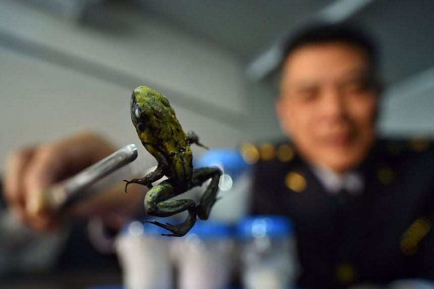 An official from the Beijing Entry-Exit Inspection and Quarantine Bureau using forceps to pick up a highly dangerous golden poison dart frog, which was seized earlier this month. The Beijing authorities seized 10 extremely dangerous frogs that secrete tox
