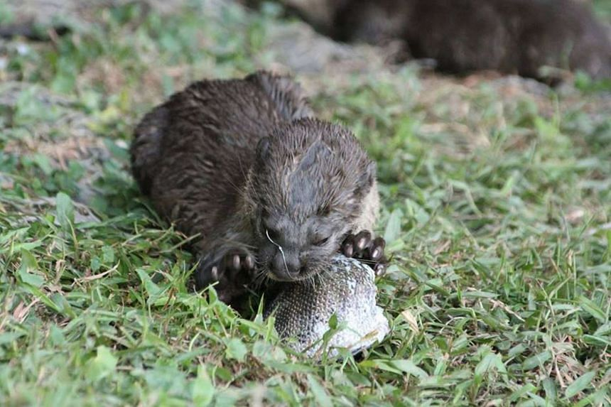 The otter pup that was spotted by otter watchers with a fishing hook near its eye, on April 2, 2016.