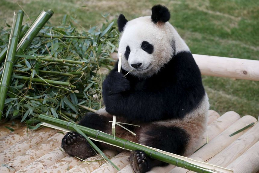 Ai Bao, a two-year-old female panda, eats bamboo during a photo opportunity at an amusement park in Yongin, South Korea on April 7, 2016.