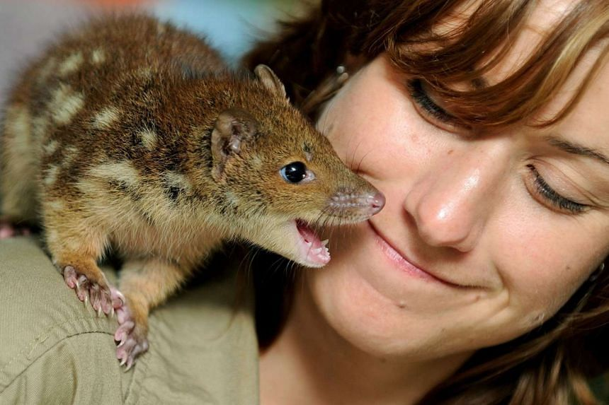 An animal keeper with a baby spotted-tail quoll on her shoulder at WILD LIFE Sydney.