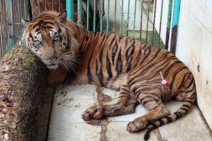 This picture from the Surabaya Zoo taken on April 10 shows Rama, a 16-year-old male Sumatran tiger, with a tranquilliser dart on his leg while inside his enclosure at the zoo. Rama died of heart failure on April 10 at the notorious Indonesian zoo whe