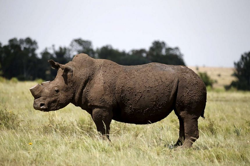 A dehorned rhino at a farm outside Klerksdorp, South Africa, on Feb 24, 2016.