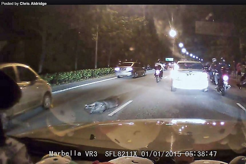 A wild boar lies on the road after it dashed onto the road on the Woodlands-bound SLE.