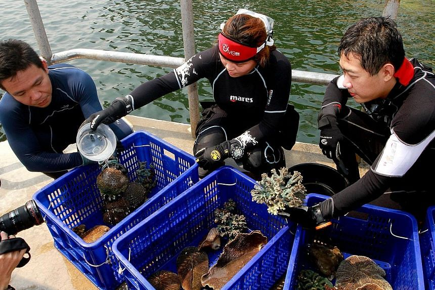 A group of volunteers relocating corals near the south-western Sultan Shoal in 2014 to protect them from the impact of the development of Tuas Terminal. Some 2,300 out of 2,800 coral colonies were moved successfully and have survived.