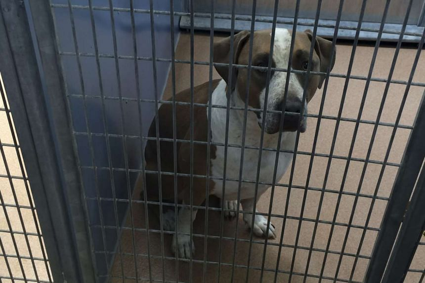 The American Staffordshire terrier-Great Dane, which was taken into custody by San Diego County Animal Services.