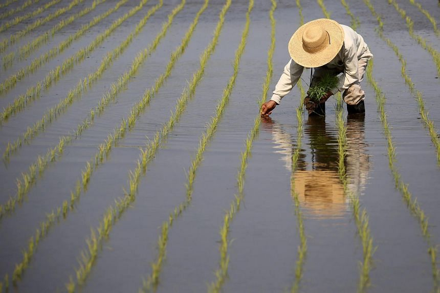 A farmer plants rice seedlings in a paddy field in Katori, Chiba Prefecture, Japan, on May 9, 2013.