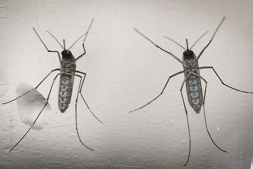 The Aedes aegypti, which can transmit the Zika virus in a laboratory in San Salvador, El Salvador, on Feb 7, 2016.