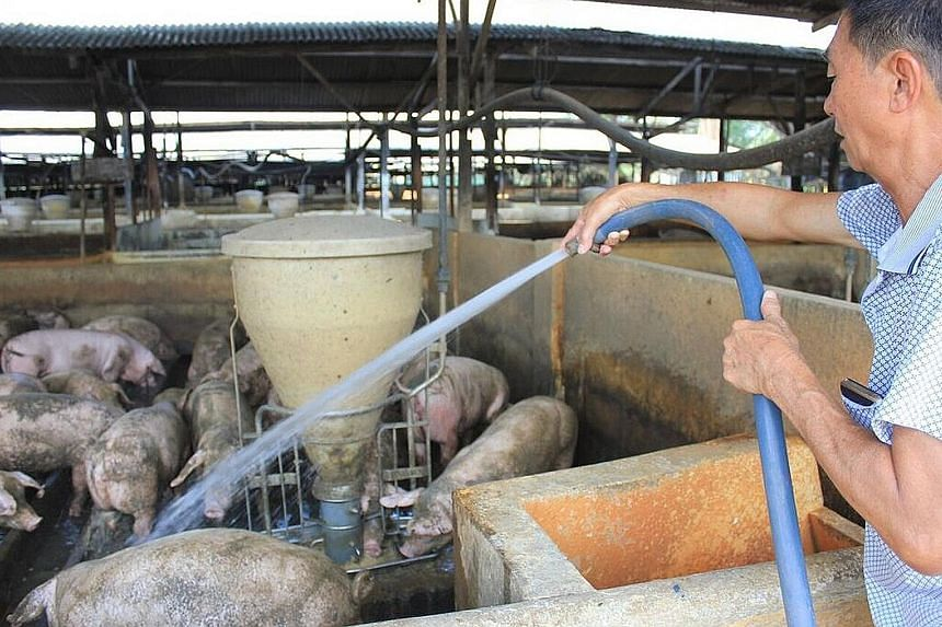 Pig farmer Chung Hock Meng hosing down his animals. Rising temperatures have forced him to cool down his pigs by giving them more water and showering them regularly, as well as by keeping electric fans switched on.