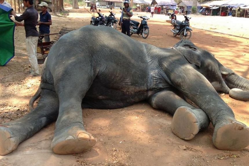 The female elephant reportedly collapsed and died after making two trips to an Angkor Wat temple.
