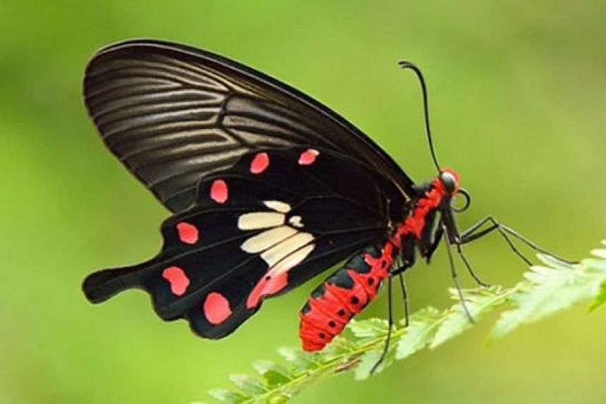 The Common Rose, Singapore's national butterfly, will be among 500 tropical butterflies that visitors can get up close with in Butterflies Up-Close.