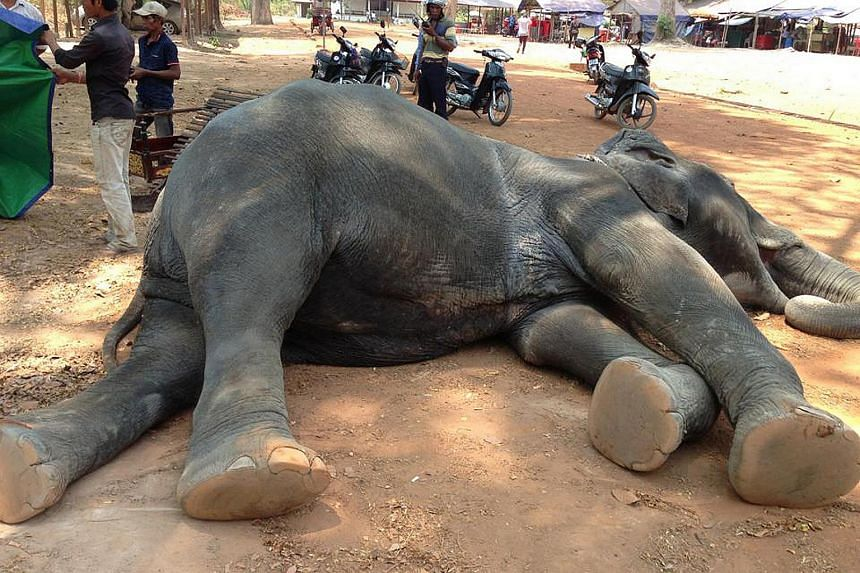 An elephant died after carrying tourists in soaring heat in Cambodia, on April 22, 2016.