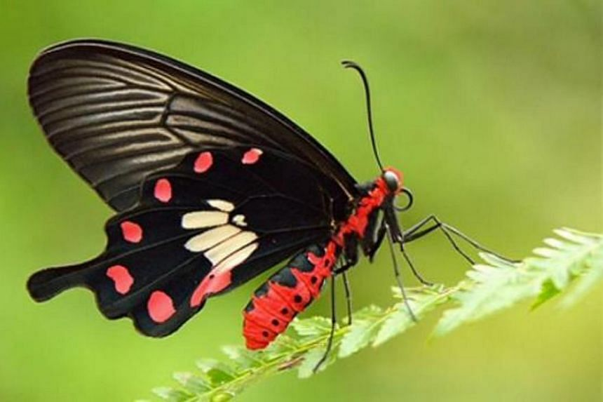 The Common Rose, Singapore's national butterfly.