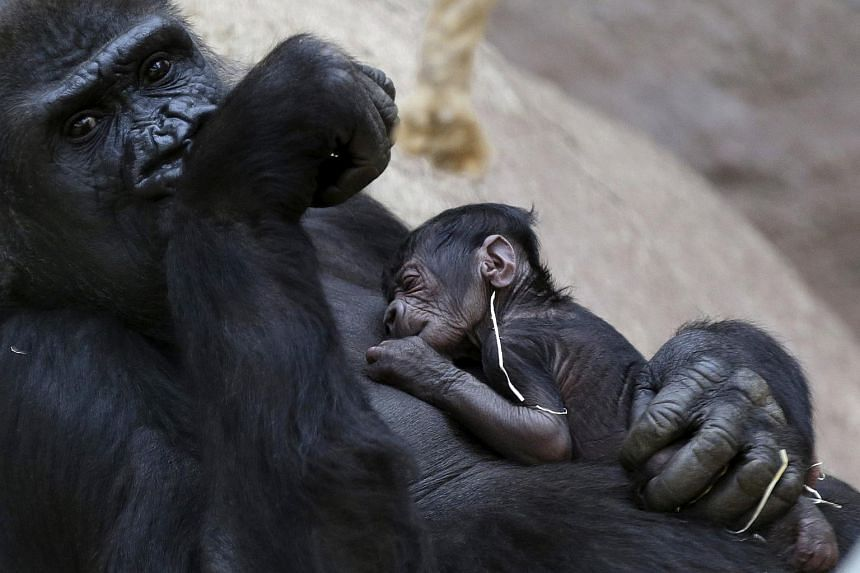 Shinda, a western lowland gorilla, holds her newborn baby in its enclosure at Prague Zoo, Czech Republic, on April 24, 2016.