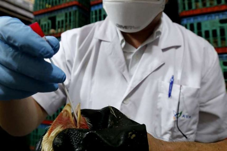 An inspection officer from the Agri-Food and Veterinary Authority of Singapore swab samples which are taken from live and dead poultry at slaughterhouses to test for diseases such as bird flu.